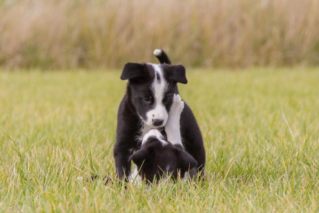 ultimate-pups-6-weken-17